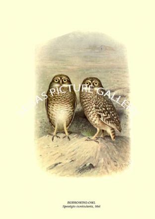 BURROWING-OWL, Speotyto cunicularia, Mol